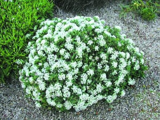 Rice flower pimelea white jewel plant environment low for Low maintenance outdoor potted plants