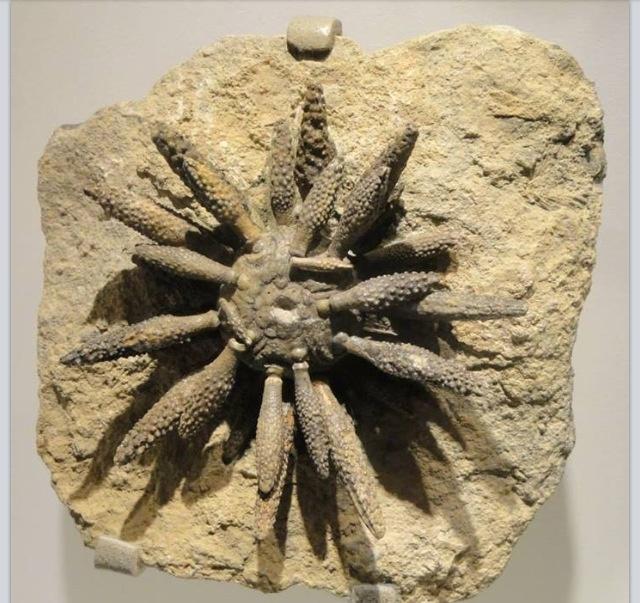 Fossil - Sea Anemone