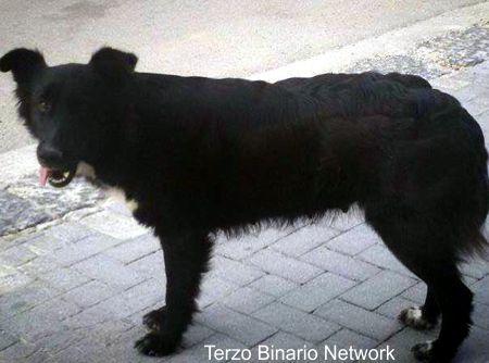 CARASCO (GENOVA): SMARRITA NERINA, CANE METICCIO NERO http://www.terzobinarionetwork.com/2015/11/carasco-genova-smarrita-nerina-cane.html