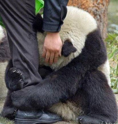 Following an earthquake in Japan, this terrified giant panda grabs the leg of a policeman for comfort