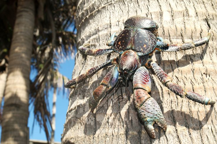 The claws of the world's largest arthropod can crunch down with as much as 740 pounds of force!