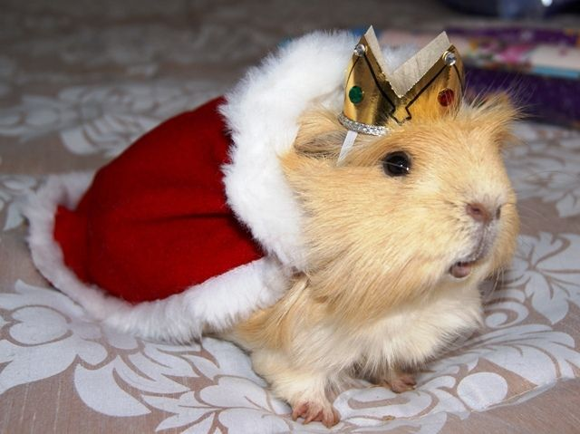 This would be Henry VIII from TANGLED HEARTS if he were a guinea pig. LOL!