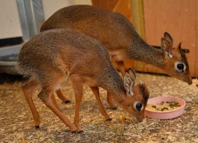 Animales extraños - Madoqua (dic dic)  La madoqua, conocida como dic dic en referencia al sonido que producen cuando están asustados, es una especie de antílope pequeño que habita la región del sureste de Asia. Un dic dic adulto puede alcanzar una altura de 30 cm y un peso de 4 kg.