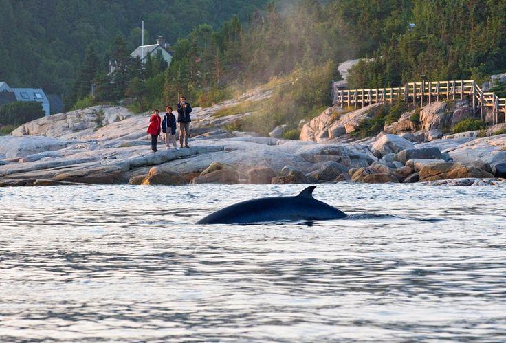 Observation des baleines depuis la pointe de L'Islet