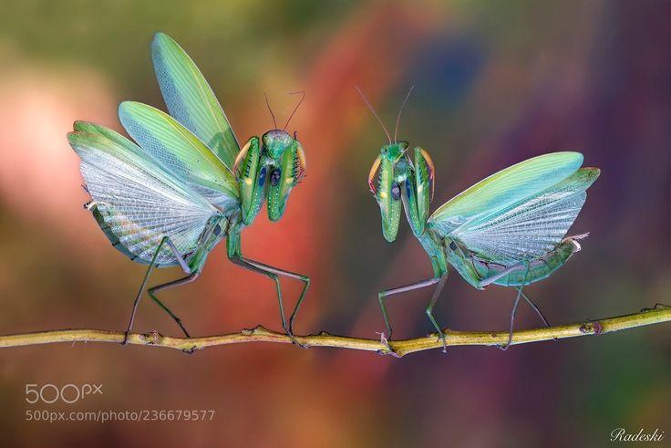 Two irascible types (Roberto Aldrovandi / Reggio Emilia / Italia) #nikon D800E #macro #photo #insect #nature
