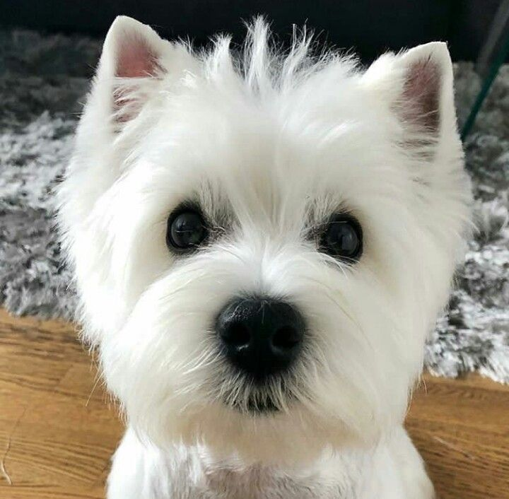 Pin By Gina Lee On Westies Westie Puppies Westie Dogs Cute Animals