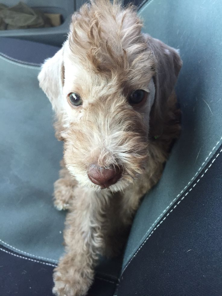 Bedlington terrier- Look how cute they are as puppy's! i miss when mine were this little! itching for a new puppy!!!