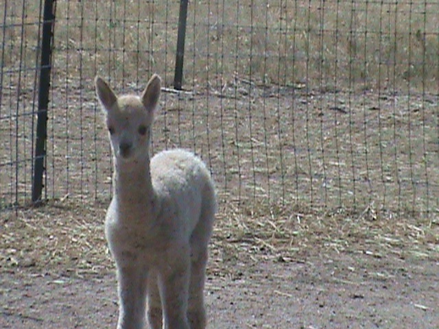 Our newest addition. Carpe's baby girl born Aug 20th.  She's a light fawn with bright fleece.  Name pending