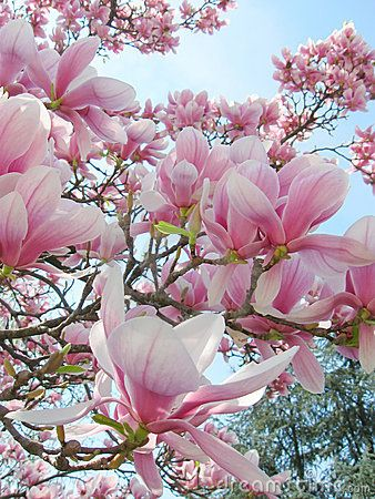 Saucer Magnolia Tree in spring bloom