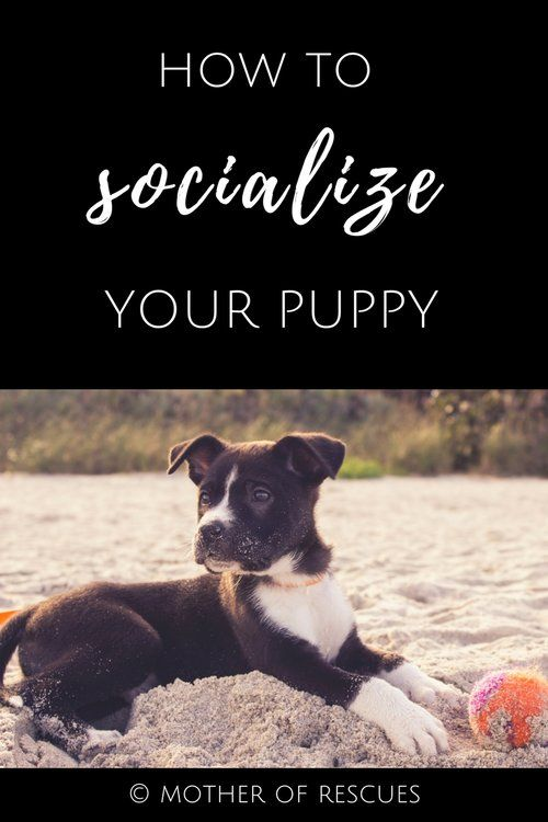 How to Socialize Your Puppy  socialization | puppy | shelter dogs | adopted dogs | dog training | dog mom | guest post