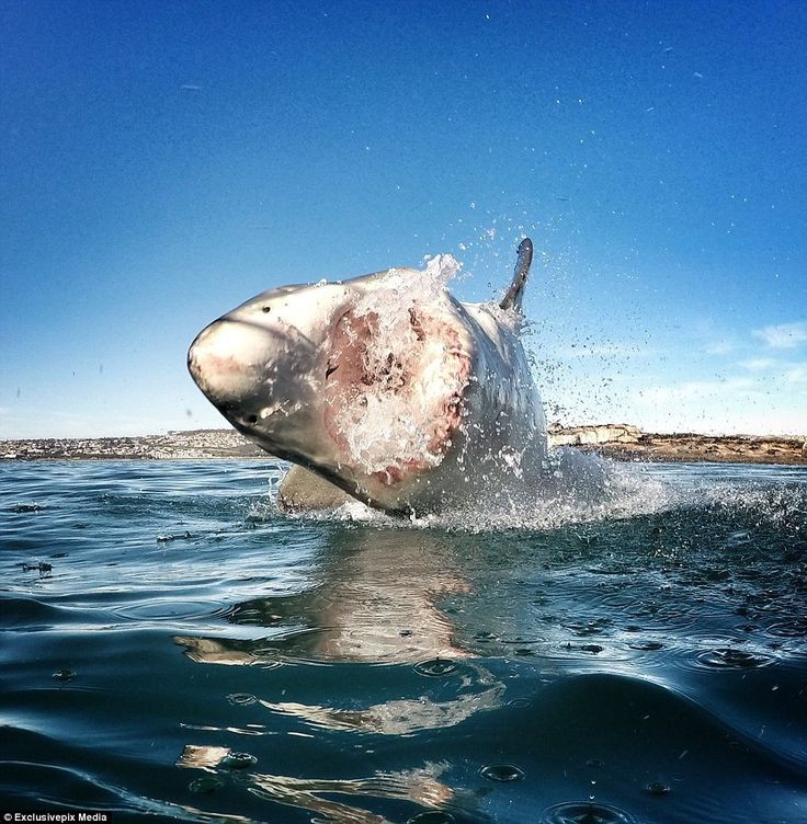 Known for their predatory instinct, white sharks are also photogenic. Let the photographer and marine conservationist Amanda Brewer