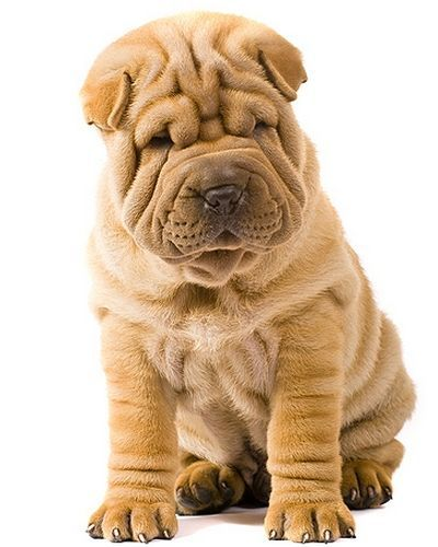 Rare Dog Breeds Alphabetical | The Shar Pei (image via dogsuniverse.info)