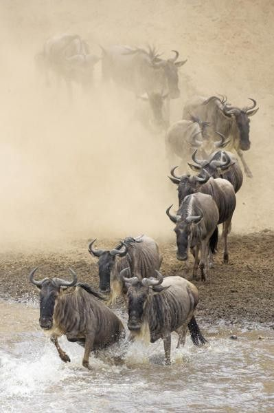Blue Wildebeest Herd Crossing The Mara River, Masai Mara National Reserve, Kenya by Winfried Wisniewski
