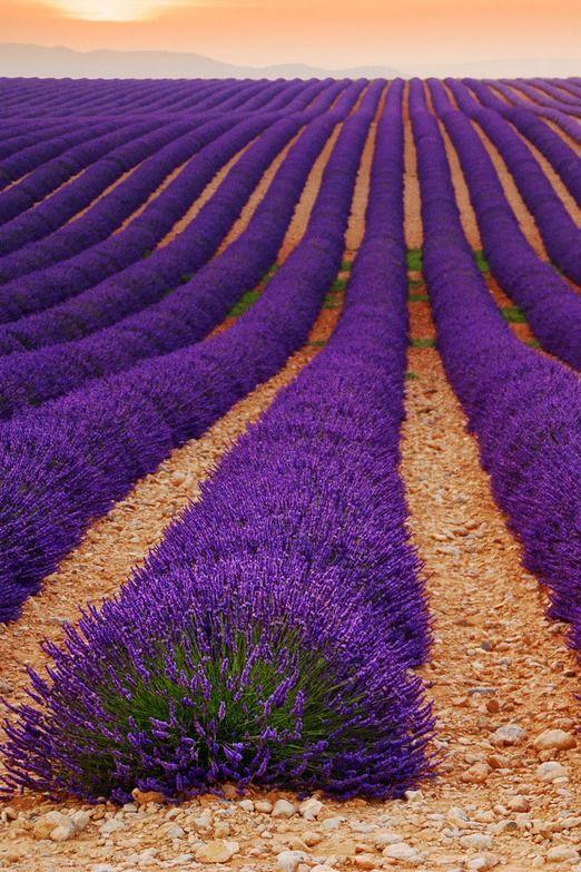 Lavender field by Tomáš Vocelka