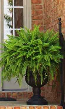 Boston Fern is the number one fern grown in containers in the USA.  The most common use of this plant is for home decoration and in hanging baskets. Boston Ferns are extremely long lived and just continue to grow larger as they age. http://cdn-bb.brighterblooms.com/images/P/WEB-%284%29_boston-fern_220.jpg