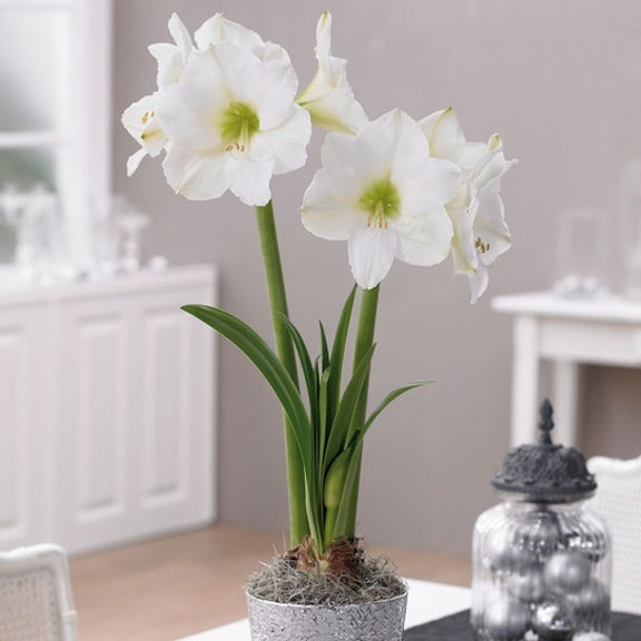 Beautiful white amaryllis christmas decor shabby chic for Amaryllis christmas decoration