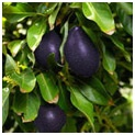 Cold Hardy Avocado Patio Tree $85