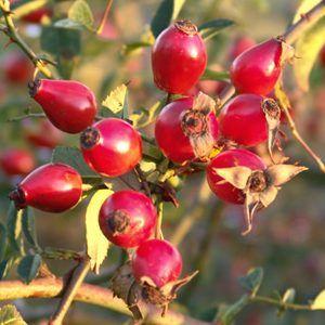 L'églantier (Rosa canina) et le rosier muscat du Chili (Rosa rubiginosa ou parfois canina) font partie du groupe des rosiers sauvages. On ne s'étonnera pas des similitudes évidentes entre l'huile de rose musquée du Chili et la présente huile d'églantier (origine : Kosovo).  Bien plus qu'une solution de rechange à l'huile de rose musquée : l'huile d'églantier est une puissante formulation cosmétique à elle seule !  On y trouve les mêmes acides gras essentiels des séries oméga 3, oméga 6 et…