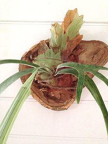 Bloodwood Botanica | Elkhorn Slice Living decor