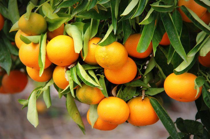 Spaanse sinasappels