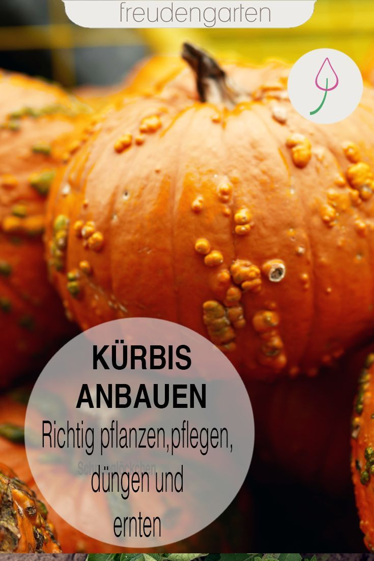 Kurbis Saen Anbauen Pflegen Ernten Kurbis Pflanzen Pflanzen Gemusegarten Anlegen