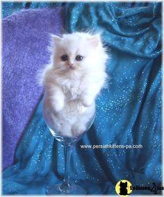 Teacup Persian Cats | ... PERSIAN KITTEN AVAILABLE >> teacup persian kittens for sale in pa