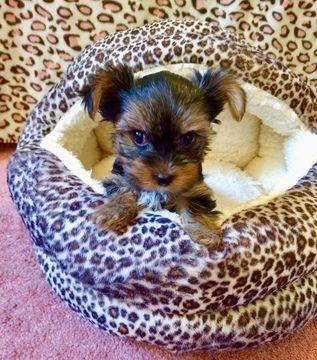 Yorkshire Terrier Puppy For Sale In San Antonio Tx Adn 70048 On