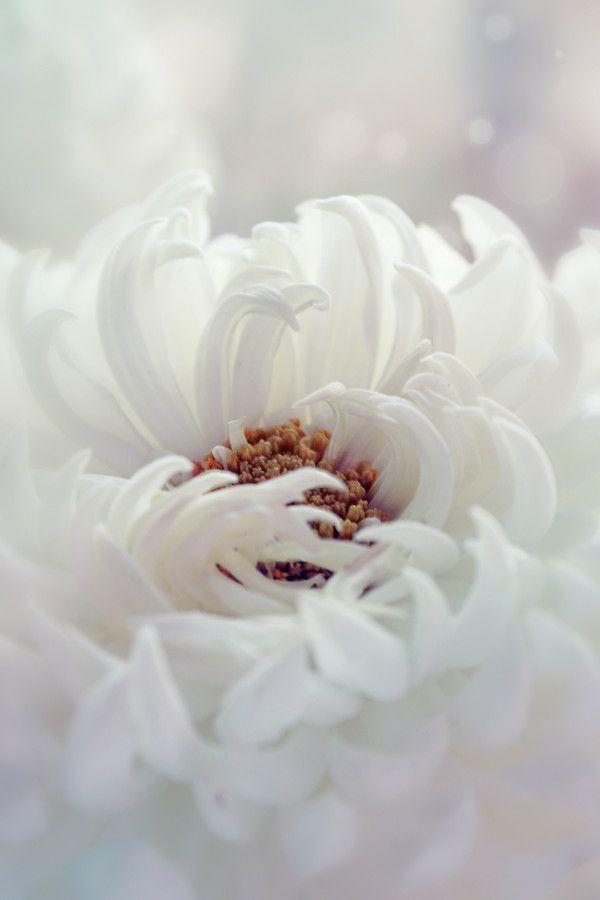 White flower.Beautiful Flower, White Flowers, Spring Flower, Angels Flower, White Dahlias, Kristina Manchenko, Colors Whit, Things Flower, White Room