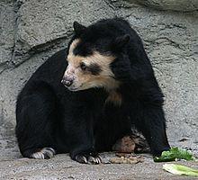 Bear - Wikipedia, the free encyclopedia - Spectacled Bear [ Tremarctos orntus]