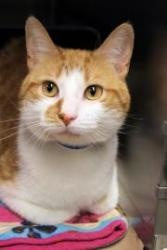 Bullet is an adoptable Domestic Medium Hair-Orange Cat in Chicago, IL. Stop by to meet Bullet!! Bullet is a friendly guy who enjoys taking in his surroundings while perched on your shoulder. He is a n...