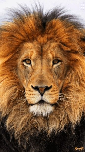 Leão com  efeito♥♥