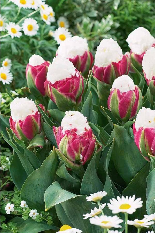 #Tulipes à fleur de pivoine 'Diamant Rose'