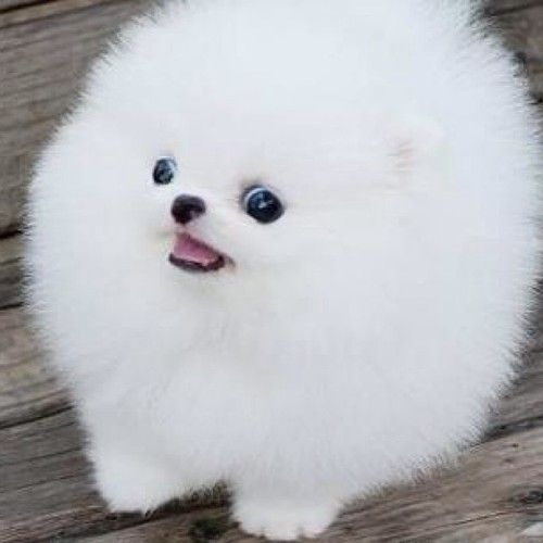18 best pom puffball images on Pinterest | Adorable ...