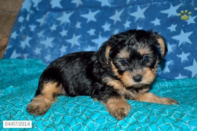Yorkiepoo Puppy for Sale in Ohio Pets Pinterest