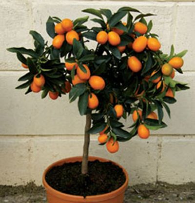 Grow tiny oranges inside, year-round thanks to Calamondin Orange Trees.