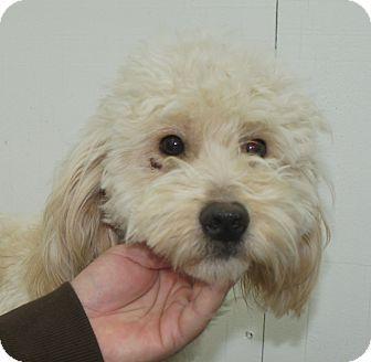 W. Warwick, RI - Goldendoodle/Poodle (Miniature) Mix. Meet GRACIE a Dog for Adoption.