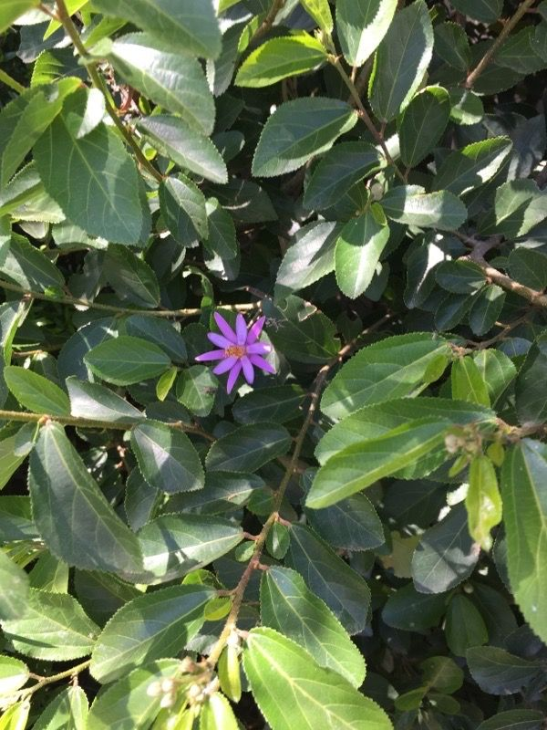 Lavender Starflower Grewia Occidentalis This Is A Native Of South Africa And Is A Fast Growing Shrub That Needs M Growing Shrubs Fast Growing Shrubs Plants