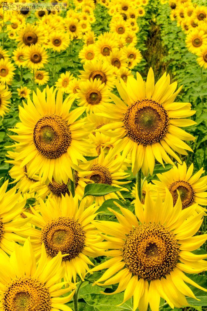 Modern-Day Muses — lifeisverybeautiful: Sunflower via PHOTOHITO