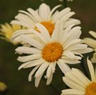 P14 Leucanthemum × superbum 'Banana Cream' shasta daisy Position: full sun or partial shade Soil: moderately-fertile, moist but well-drained soil Rate of growth: average Flowering period: June to September Flower colour: pale yellow fading to white Hardiness: fully hardy H: 45cm S:30cm Lush-looking dark green foliage clothe the stout upright stems, and throughout summer lashings of large, pale yellow flowers appear, fading to white as they mature.