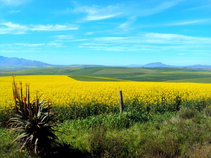 Bright yellow Canola fields and Aloes, on route to Greyton