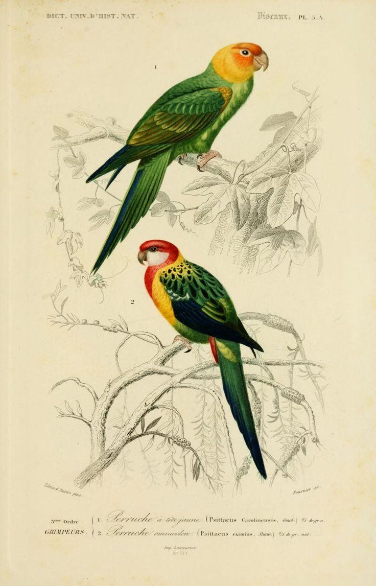 gravures couleur d'oiseaux - Gravure oiseau 0251 perruche a tete jaune - psittacus carolinensis - grimpeur - Gravures, illustrations, dessins, images