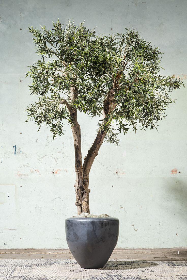 Echte olijfstam met zijde olijftakken. De oplossing voor olijfboom in huis. ROETS