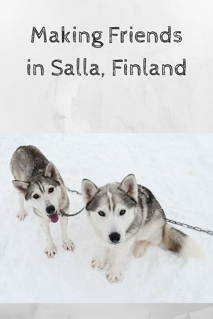 An awesome winter break in Salla Finland, filled with awesome experiences including dogsledding and more!