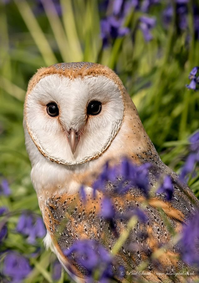Photo Barn Owl in Bluebells by Paul Smith on 500px