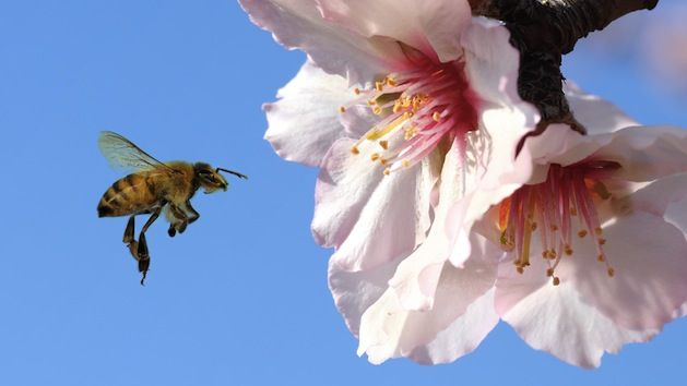 """Are Your Delicious, Healthy Almonds Killing Bees?"" (article) (via Mother Jones) (29 April 2014) Talks about the recent huge die-off of bees who pollinate California's almond crops. Pesticides are strongly suspected."