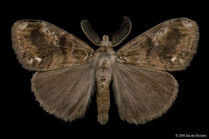 Definite Tussock Moth (Orgyia definita) - Lac Bonin, Quebec - September 4, 2006