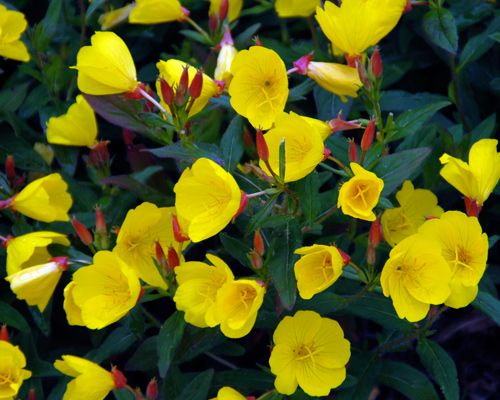 Common Yellow Garden Flowers 95 best my plants images on pinterest | garden ideas, garden