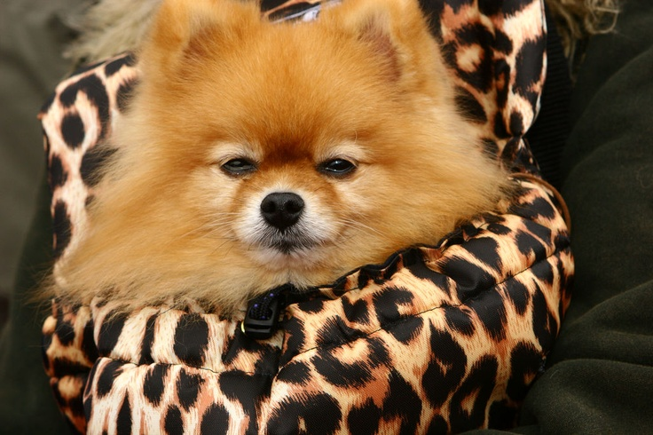... Papoo, Dogs Hairstyles, Amazing Animal, Baby Girls Pom, Doggie Style
