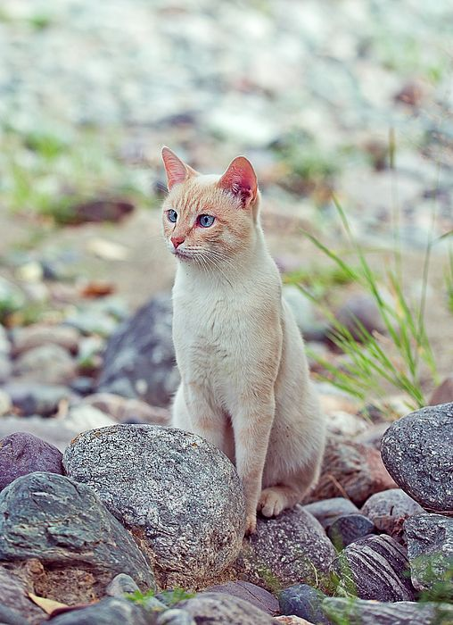 White Cat Sitting In Stones Photograph by Oksana Ariskina on @pixels and @fineartamerica. Buy print and other product with my fine art photography online: www.oksana-ariskina.pixels.com. Cat sitting near the river on shore. Altai, Russia #OksanaAriskina  #FineArtPhotography #HomeDecor #FineArtPrint #PrintsForSale #Altai #Altay #Nature #Mountains #Wild #Animals #Pets