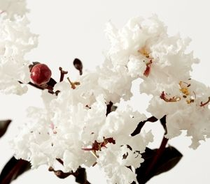 Lagerstroemia indica Diamonds in the Dark® Pure White | Touch of Class Plants | Modern Plants for Modern Gardens